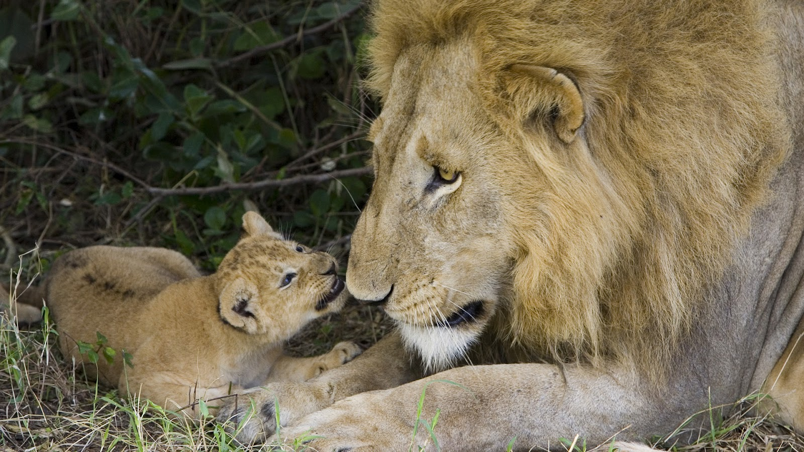 animals hd amazing wallpapers animal lion cub lions african con adult 1001places leo lionceau google male bing baby