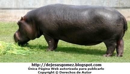 Foto de un hipoótamo comiendo en el Parque de las Leyendas. Foto de hipopótamo de Jesus Gómez
