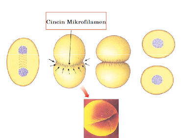Proses Pembelahan Sel (Amitosis, Mitosis, & Meiosis)
