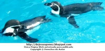 Fotos de Pingüinos en el agua nadando - Parque de las Leyendas por Jesus Gómez