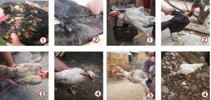 Pola Bulu Ayam Legund