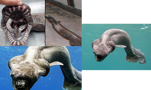 Fırfırlı Köpek Balığı Hakkında Bilgi