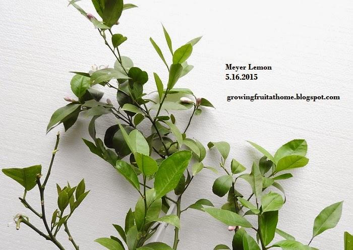 鉢植えマイヤーレモンの開花