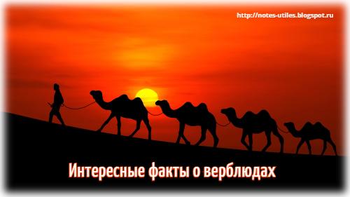 верблюды интересные факты, корабль пустыни, верблюд животное