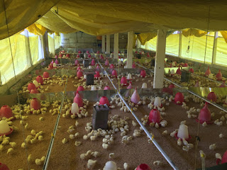 3,000 new chicks have been added to the chicken farm