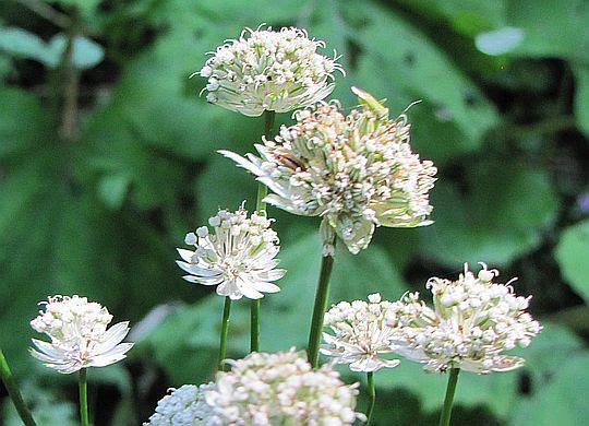 Jarzmianka większa (Astrantia major L.).