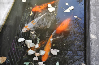 several large koi fish in water