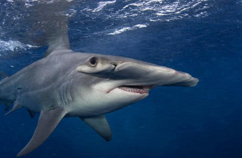 largest hammerhead shark - photo #11