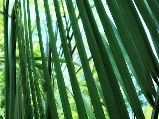 Folhas de Palmeira no Parque Saint Hilaire, Viamão