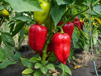 перец,вырастить перец,урожай перца,как вырастить много перца,pepper,to grow pepper,chilli,how to grow a lot of peppers,Pfeffer,wachsen Pfeffer,Ernte Pfeffer,wie man ein viel Pfeffer,