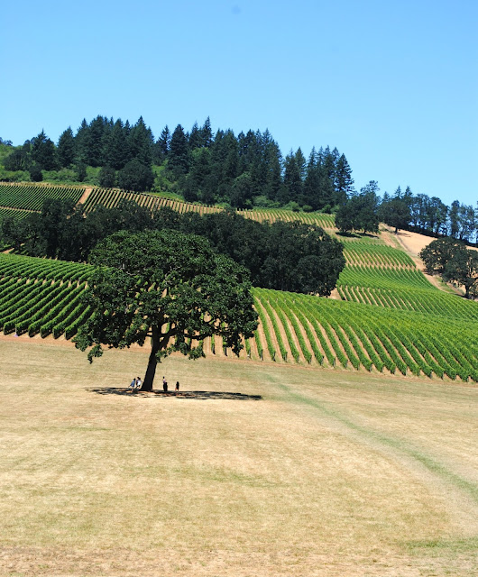 White oak at Stoller Vineyard, Oregon