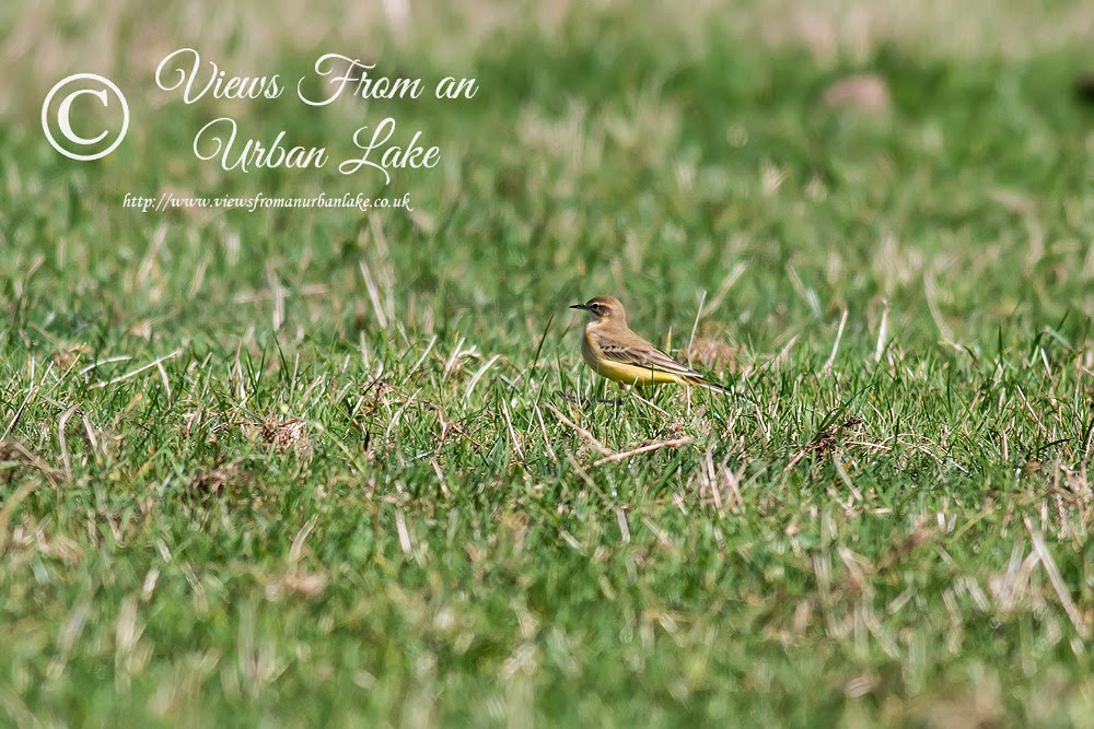 One of 27+ Yellow Wagtails, Wolverton Mill, Milton Keynes
