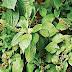 Health Benefits Of Scent Leaf (Efirin)