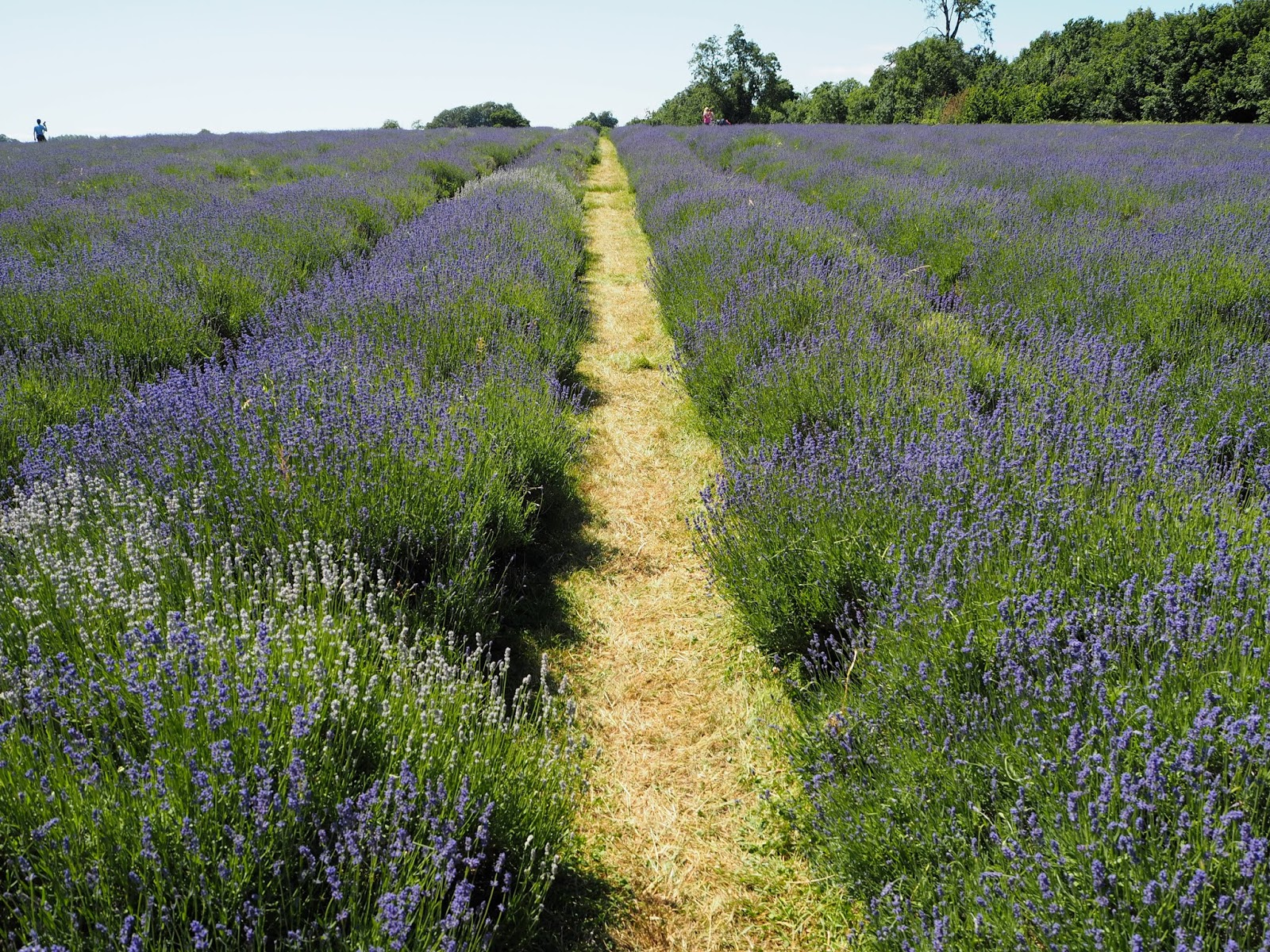 Lavender Farm near London