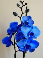 Bunga Anggrek Biru