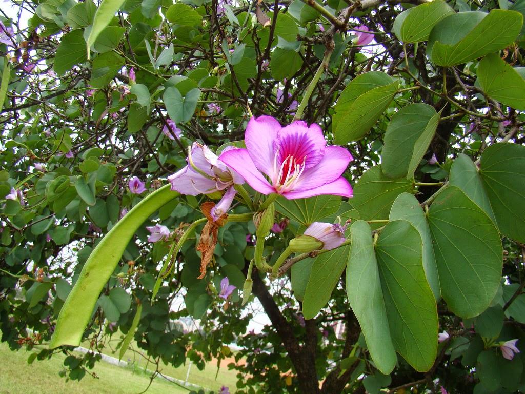A Review on Medicinal Uses of Bauhinia Variegata Linn ...