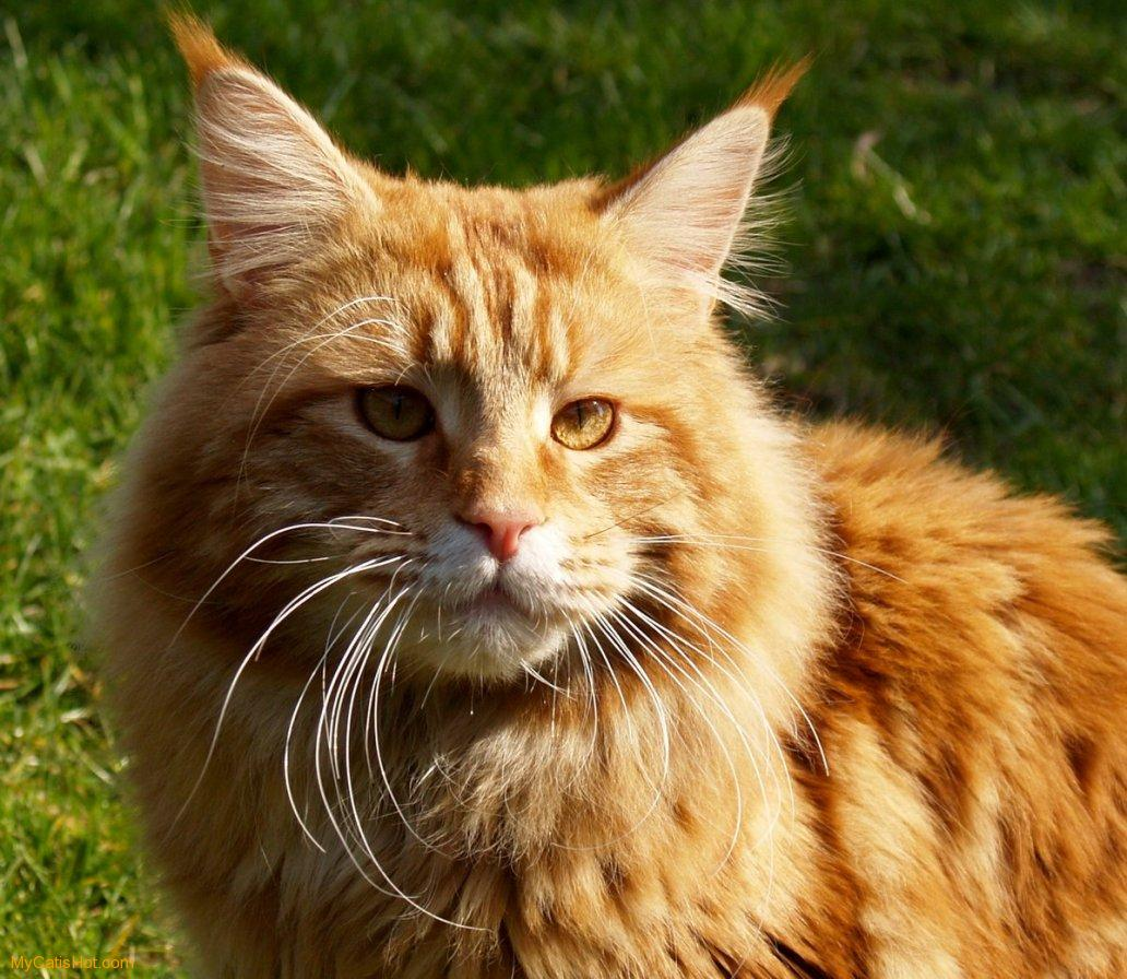 ... maine coon for which testing services are seen of all the maine coons