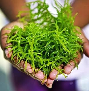 Inilah Manfaat Rumput Laut Untuk Kosmetik Kecantikan Seperti Memutihkan Kulit Wajah dan Tubuh Secara Alami.