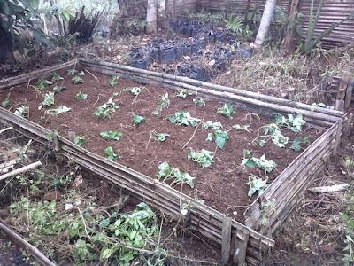 Bikin Garden Bed untuk Tanaman Chai Biar Greget