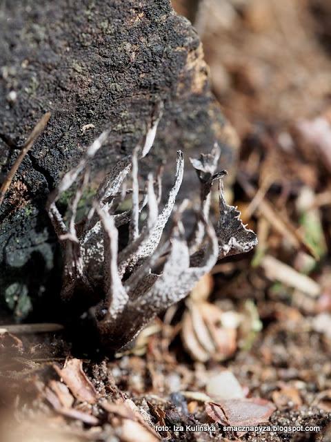 prochnilce, grzyby nadrzewne, na pienku, grzybek