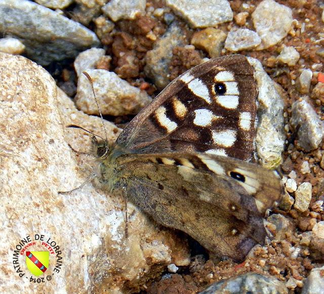 Tircis (Pararge aegeria tircis)