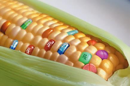EU: engedélyezik génkezelt kukorica termesztését