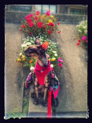 Kely the Cornish Rex cat at Lake Anne with flowers