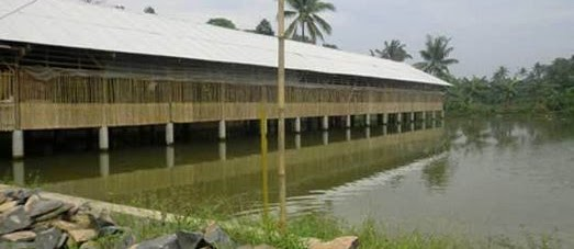 Budidaya Ikan Gurame Modern & Sirkulasi Tanpa Listrik