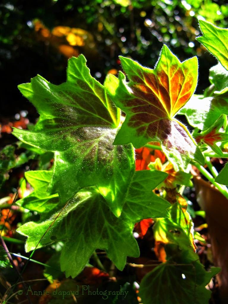 geranium leaves, light
