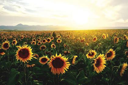 5 Sunflower Gardens in Indonesia