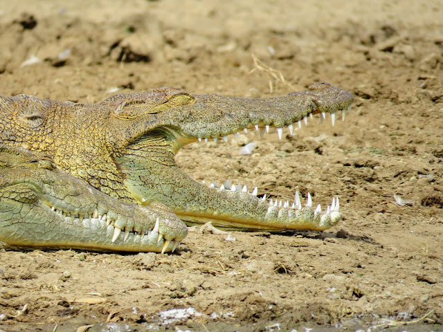 Close-up of Crocodile with sharp teeth on the Kazinga Channel in Uganda