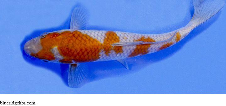 Gambar Ikan Koi Shigure Ochiba