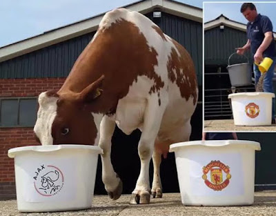manchester united fans cow slaughtered suya