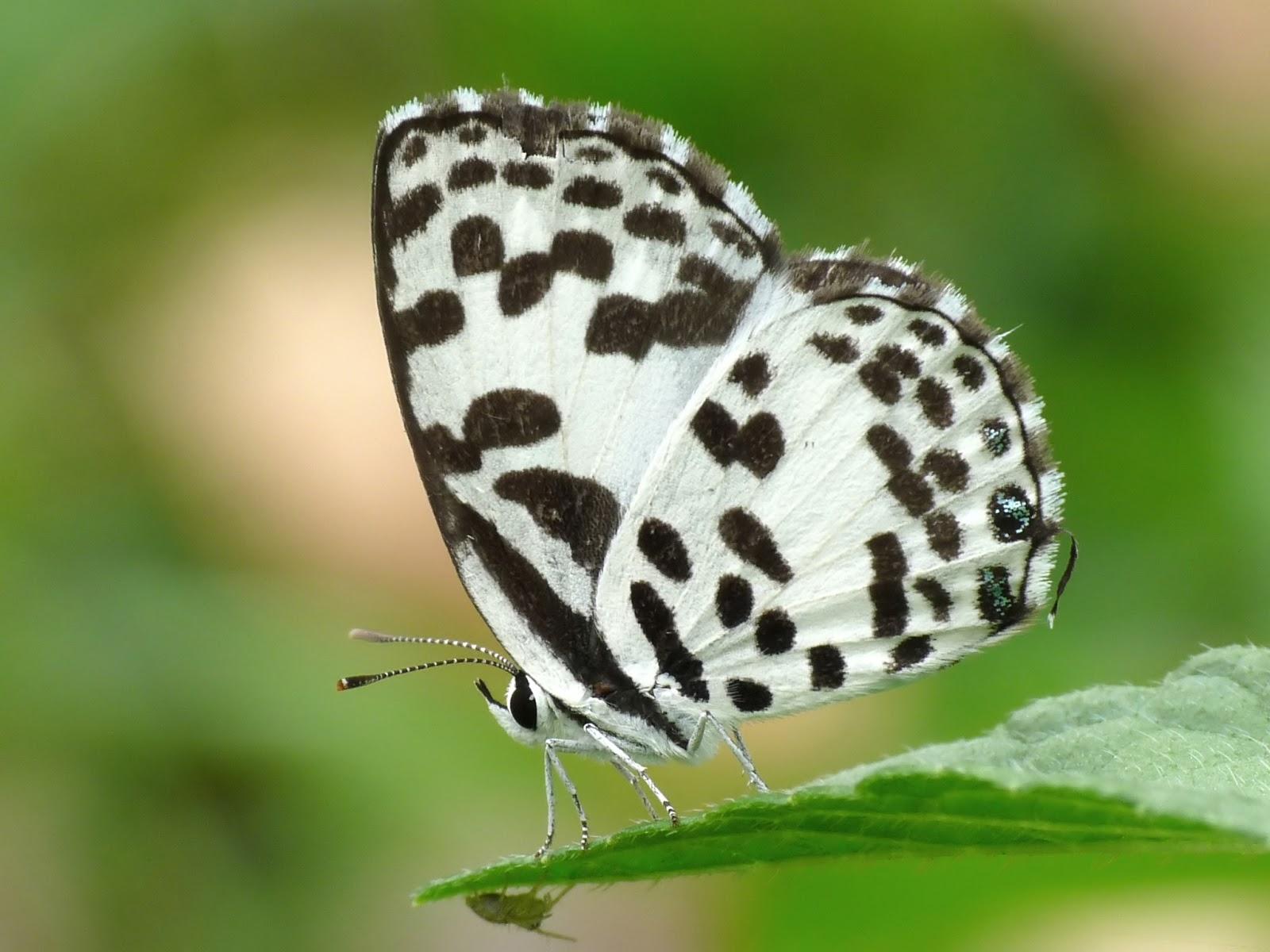 Insects: Common Pierrot Castalius rosimon