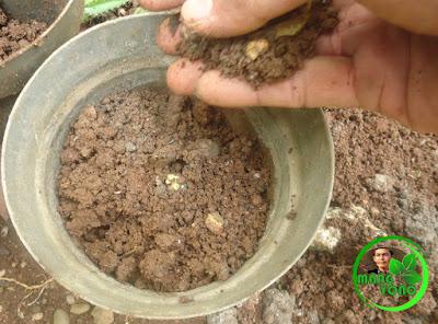 FOTO 4 : Penutupan biji nangka menggunakan media tanah