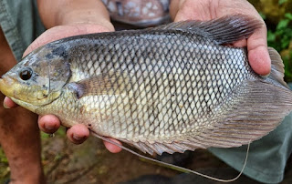 cara budidaya ikan gurame agar cepat besar,cara budidaya ikan gurame di kolam tembok,cara budidaya gurame di kolam tanah,cara budidaya gurame organik,cara budidaya gurame di kolam terpal,