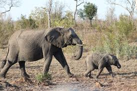 The duration of the elephant's pregnancy