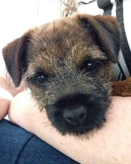 fizz border terrier face