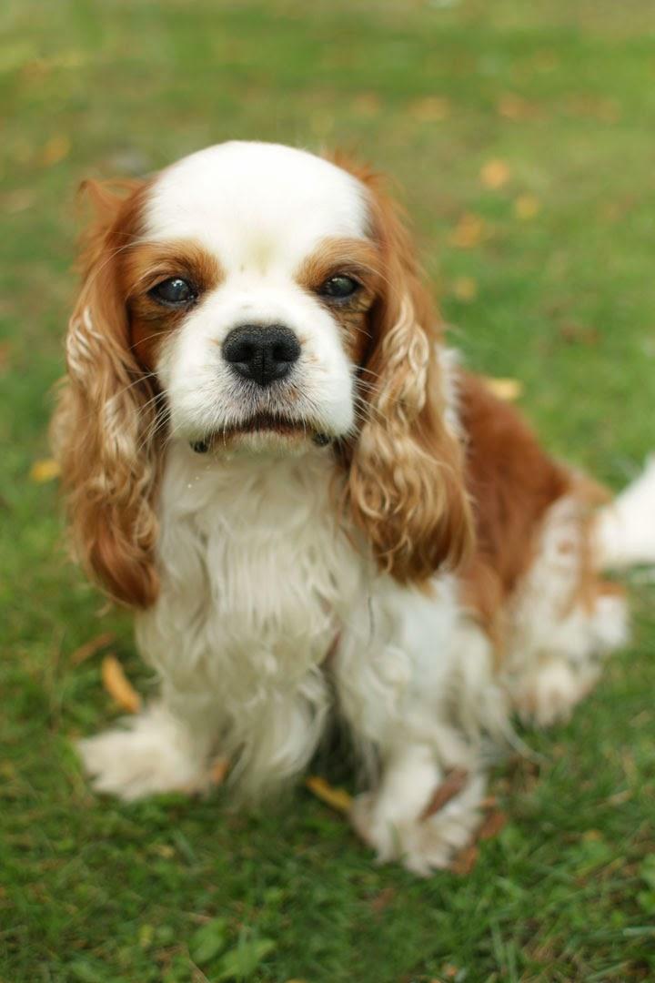 Reddy - Cavalier King Charles Spaniel - photo#6