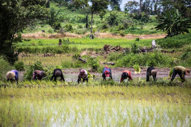 Cambodge, Terre de Rizières