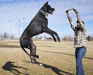 Rocko anjing tertinggi di dunia
