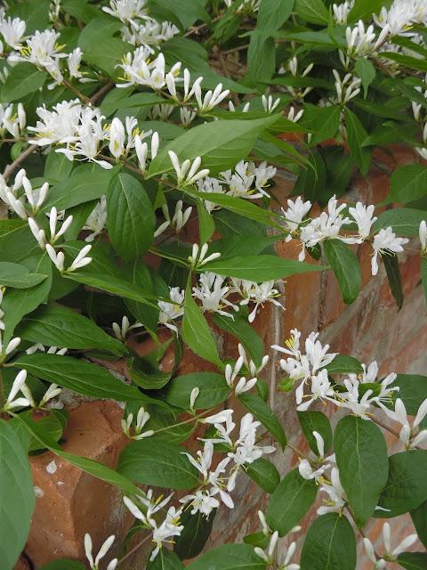 kwiaty lonicera Maacki