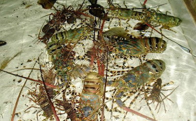 Live Lobster Supplier Indonesia