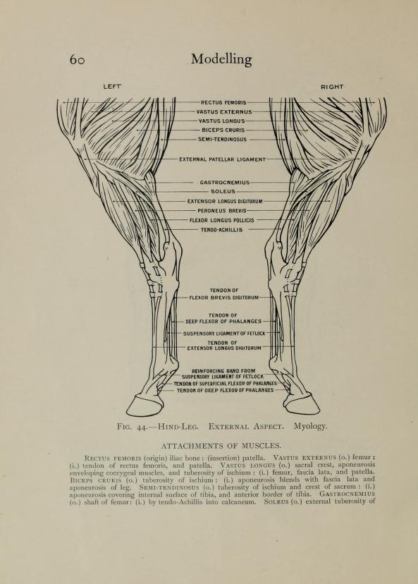 Dariusz caballeros: Edouard Lanteri - horse anatomy and proportions p3