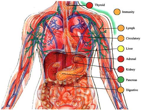 human system systems organs anatomy gastrology facts summary cardiovascular function diagram muscles effects health dissipation heat visit points three main