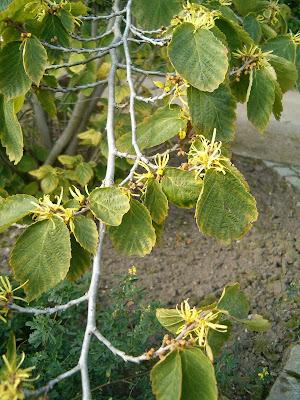 Hojas y flores de Hamamelis Virginiana