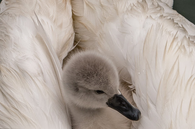 Photo of a cygnet hitching a ride on Mum's back at Maryport Marina