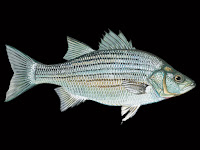 White Bass Fish Pictures