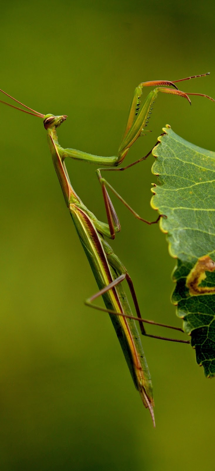 A praying mantis hanging from a leaf.