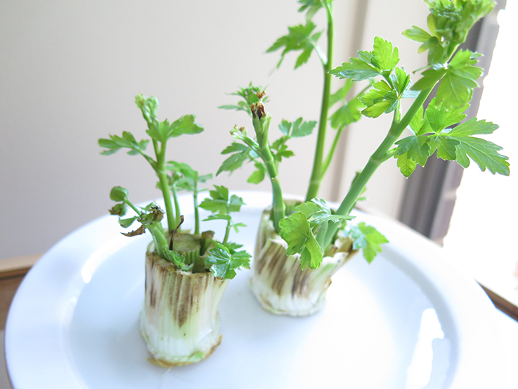 Regrowing vegetables in water